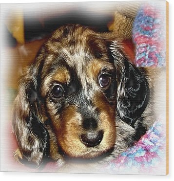 Dapple Dachshund Pup Wood Print by Victoria Sheldon