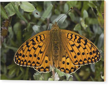 Dark Green Fritillary Butterfly Wood Print by Dr Keith Wheeler