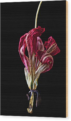 Dead Dried Tulip Wood Print by Garry Gay