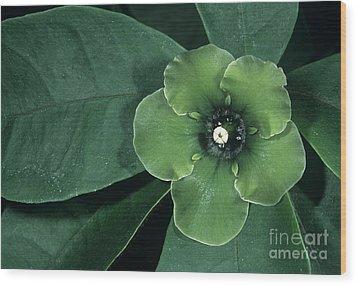 Deherainia Smaragdina Flower Wood Print by Bob Gibbons