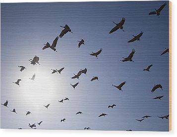 Demoiselle Cranes (anthropoides Virgo) Group Of Birds Flying, In Khichan, Rajasthan, India Wood Print by Berndt Fischer