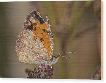 Dew Drenched Pearl Crescent Butterfly Wood Print by Bonnie Barry