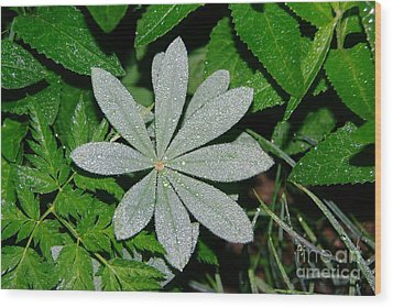 Dew Drops In The Morn  Wood Print by Jeff Swan
