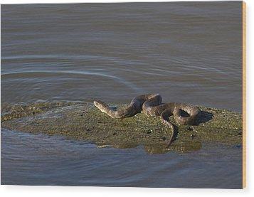 Diamondback Water Snake - 4011 Wood Print