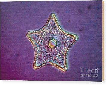 Diatom Alga, Triceratium Antediluvium Wood Print by Eric Grave