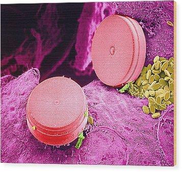 Diatom Algae, Sem Wood Print by Susumu Nishinaga