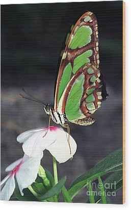 Dido Longwing Butterfly Wood Print by Terry Elniski