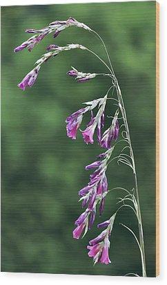 Dierama Pulcherrimum In Flower Wood Print by Colin Varndell