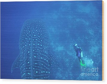 Diver Filmming A Whale Shark Wood Print by Sami Sarkis