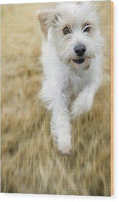 Dog Running Wood Print by Darwin Wiggett