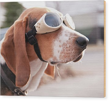 Dog Wearing Goggles Wood Print by Darren Boucher