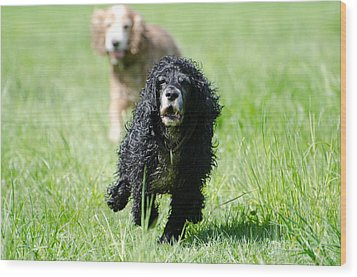 Dogs Running On The Green Field Wood Print by Mats Silvan