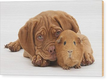 Dogue De Bordeaux Puppy With Red Guinea Wood Print by Mark Taylor