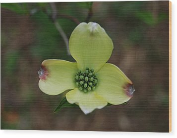 Dogwood Flower Wood Print