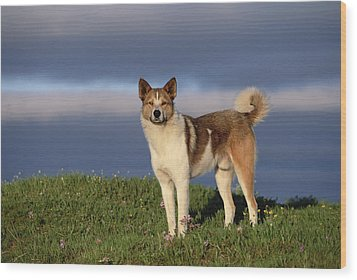 Domestic Dog Canis Familiaris, Taymyr Wood Print by Konrad Wothe