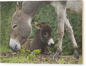 Donkey Equus Asinus Adult With Foal Wood Print by Konrad Wothe