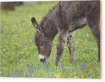 Donkey Equus Asinus Foal Grazing Wood Print by Konrad Wothe