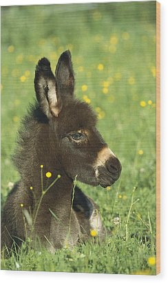 Donkey Equus Asinus Foal Resting Wood Print by Konrad Wothe