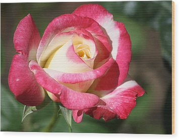 Double Delight Rose Wood Print