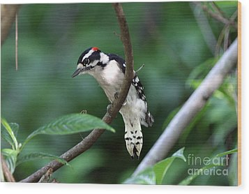 Downy Woodpecker Wood Print by Jennifer Zelik