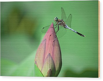 Dragonfly And Lotus Bud Wood Print by masahiro Makino