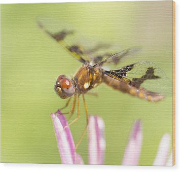 Dragonfly On Tip Of Cornflower Wood Print by Daphne Sampson