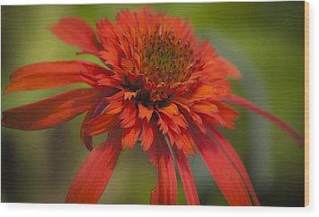 Dreamy Hot Papaya Coneflower Bloom Wood Print by Teresa Mucha