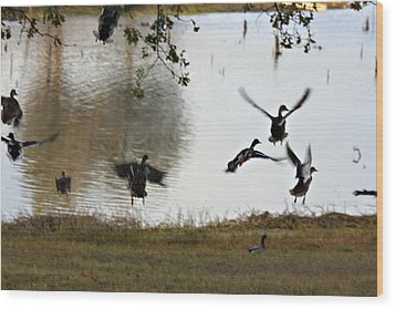 Duck Frenzy Wood Print by Douglas Barnard