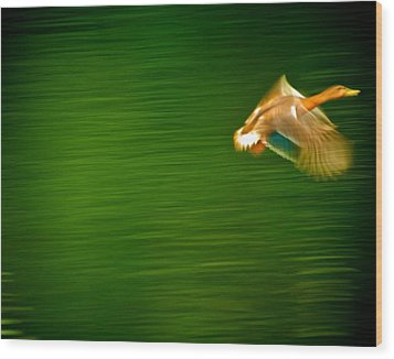Duck In Motion Wood Print by Andre Faubert
