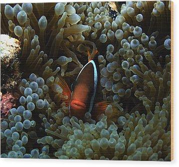 Dusky Anenomefish Wood Print