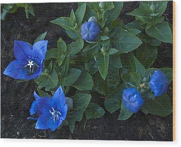 Dwarf Balloon Flower Platycodon Astra Blue 2 Wood Print by Steve Purnell