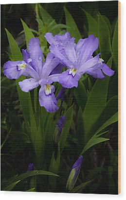 Dwarf Crested Iris Wood Print by Rob Travis