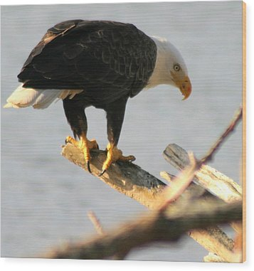 Eagle On His Perch Wood Print by Kym Backland