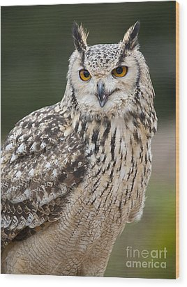 Eagle Owl II Wood Print by Chris Dutton