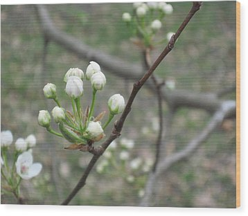 Early Blossoms Wood Print by Rebecca Shaw
