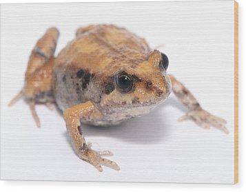 Eastern Banjo Frog Isolated On White Wood Print by Brooke Whatnall