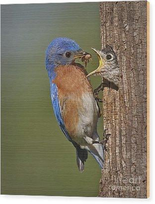 Eastern Bluebird Feeding Chick Wood Print by Susan Candelario