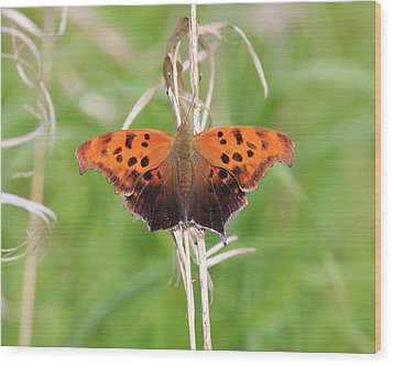 Wood Print featuring the photograph Eastern Comma Butterfly by Penny Meyers