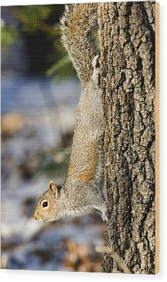 Eastern Gray Squirrel Sciurus Wood Print by Tim Laman
