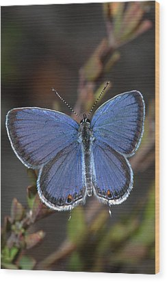 Eastern Tailed Blue Butterfly Wood Print by Daniel Reed