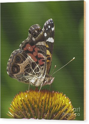 Echinacea Butterfly Meal Wood Print by Darleen Stry