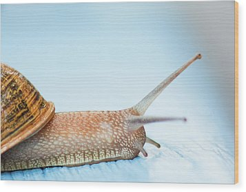 Edible Snail On  Wooden Ground Wood Print by Guido Mieth