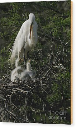Wood Print featuring the photograph Egret Bird - Mother Egret And Babies by Luana K Perez