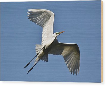 Egret Soaring Wood Print by Paulette Thomas