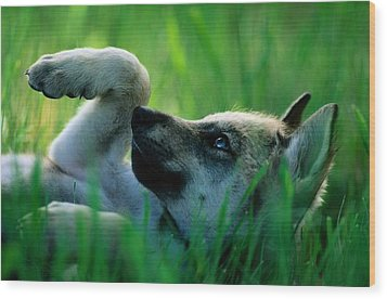 Eight-week-old Captive Gray Wolf, Canis Wood Print by Joel Sartore