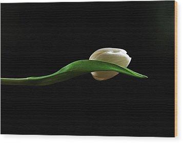 Elegant Tulip Wood Print by Elsa Marie Santoro