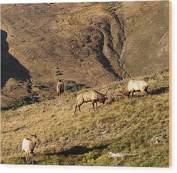 Elk Battle 2012 Wood Print