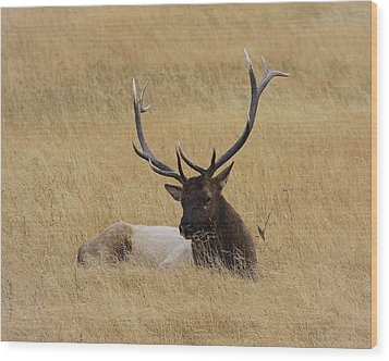 Wood Print featuring the photograph Elk In The Meadow by Steve McKinzie