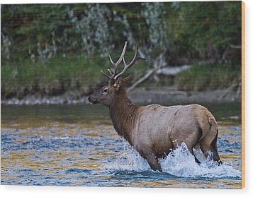 Elk Through Water Wood Print by Maik Tondeur