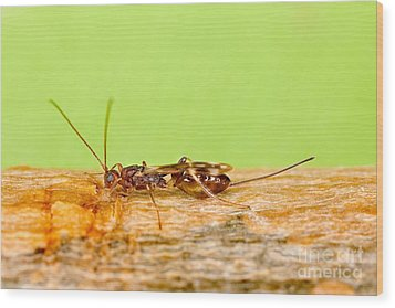Emerald Ash Borer Parasite Wood Print by Science Source